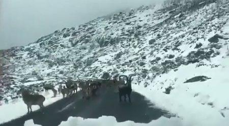El peligro añadido de la nieve: animales salvajes en la carretera